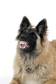 belgian sheepdog forum belgian tervuren with teeth photograph by john daniels