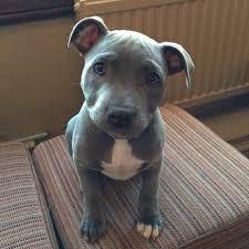 american pit bull terrier zucht american pit bull terrier u0026 american pit bull terrier welpen