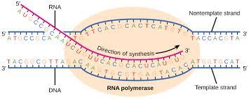 transcription u2014from dna to rna biology libretexts
