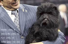 affenpinscher swimming 13 dog breeds that are overwhelmingly affectionate barkpost