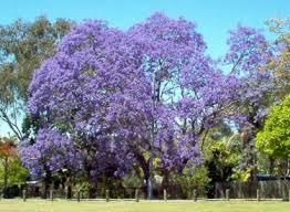 tree with purple flowers jacaranda tree s mimosifolia trees with purple flowers