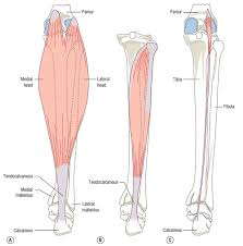 Anatomy Of The Calcaneus Anatomy Of The Calf Muscle Corewalking