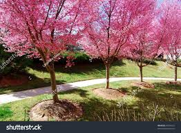 blossom trees pink cherry blossom trees germantown md stock photo 97254212