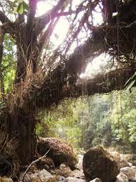 evenfewergoats the undiscovered living root bridges of meghalaya
