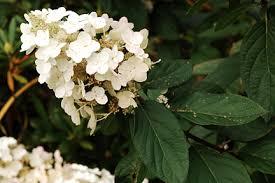 White Hydrangeas Hydrangea Rhs Gardening