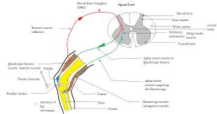 What Is A Reflex Action Example Patellar Reflex Wikipedia