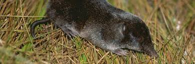 How To Get Rid Of Moles In The Backyard by How To Get Rid Of Shrews Shrew Trap