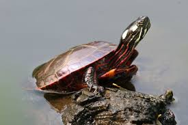 eastern painted turtle the north hills campus at winchester