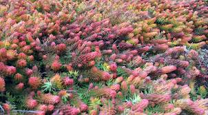 plants native to tennessee january 2015 u0027angelina u0027 stonecrop