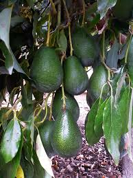 Judge A Tree By Its Fruit - how to tell when an avocado is ripe on the tree garden betty