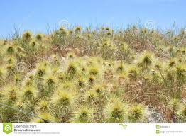 native aussie plants native australian coastal dune plants stock photo image 62478651