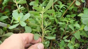 purslane foraging edible wild green plant identification