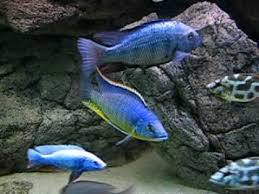17 best my mbuna babies images on pinterest african cichlids