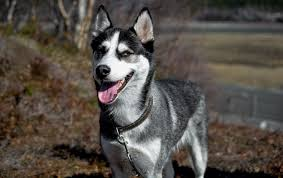 american pitbull terrier vs siberian husky canine breed spotlight siberian husky town centre veterinary