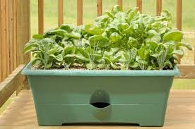 Lettuce Container Garden Growing Spinach In Containers U2013 Learn About The Care Of Spinach In