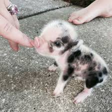 i had a dream the other night that i got 5 puppies and 5 baby pigs
