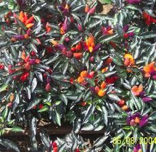 ky garden flowers caladium to capsicum