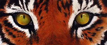 tiger by kittyked on deviantart