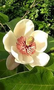 magnolia color wikipedia