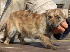 australian shepherd 4 monate gewicht hund mischling mischling hündin 10 monate in bendorf