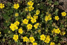 Yellow Flowering Bushes And Shrubs Shrubby Potentilla Info How To Care For Potentilla Shrubs