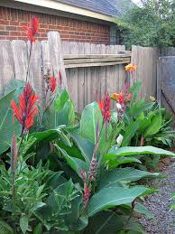 Canna Lilies Foraging Texas Canna Lily
