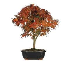 top 5 bonsai trees to zen up your space the soothing