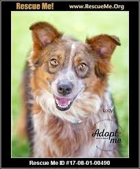 australian shepherd queen creek az arizona australian shepherd rescue u2015 adoptions u2015 rescueme org