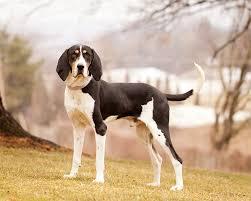 bluetick coonhound treeing treeing walker coonhound dog breed information pictures