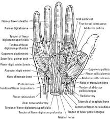 nerves arteries and veins of the wrist and dummies