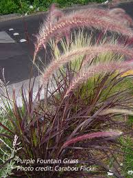 purple grass denton county master gardener association