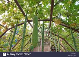 snake gourd or padwal and winter melon on tree in vegetable garden