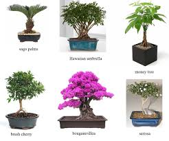 Garden Tree Types - a quick glance at ficus bonsai and its types u2013 beabeeinc