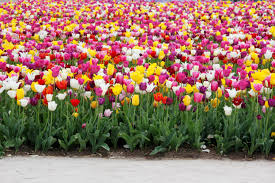 free images holland dutch tulips spring flower bayreuth