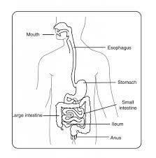 pictures of digestive system gallery human anatomy image