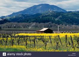 napa valley ground mustard scenic of napa valley and barn in st helena california during