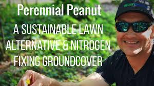 perennial peanut nitrogen fixing ground cover lawn alternative