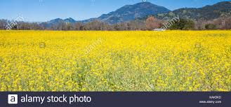 napa valley ground mustard mustard field in napa valley california usa bright yellow field