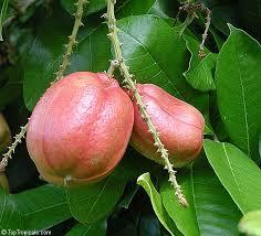 Ackee Fruit Tree - blighia sapida akee toptropicals com