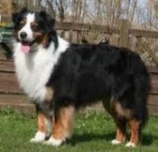 australian shepherd queensland heeler australian shepherd breed information and pictures on puppyfinder com