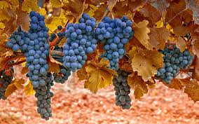 grapes leaves macro autumn nature wallpaper 1920x1200 30457