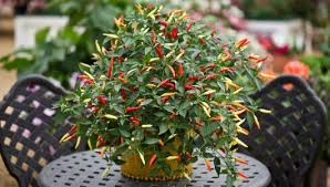 multi colored chilli plants gardening forums