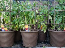 best 25 growing tomatoes in containers ideas on pinterest