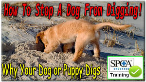 how to stop a dog from digging start today why