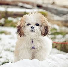 wszystko o bichon frise 17 best images about cute dogs on pinterest chihuahuas cocker