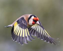 goldfinches can you tell males from females cherish wild bird