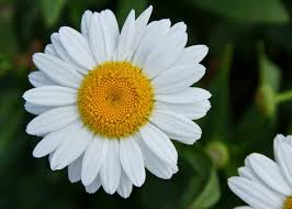 white flower white flower loving a prophet
