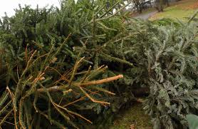 christmas tree collection points in the borough basingstoke gazette