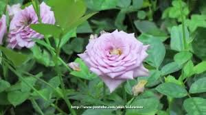 roses flower dome gardens by the bay singapore youtube