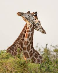 where have all the giraffes gone on point